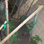 Caging in the tomato plants