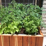 48 x 24 x 18 redwood planter with tomato and green beans
